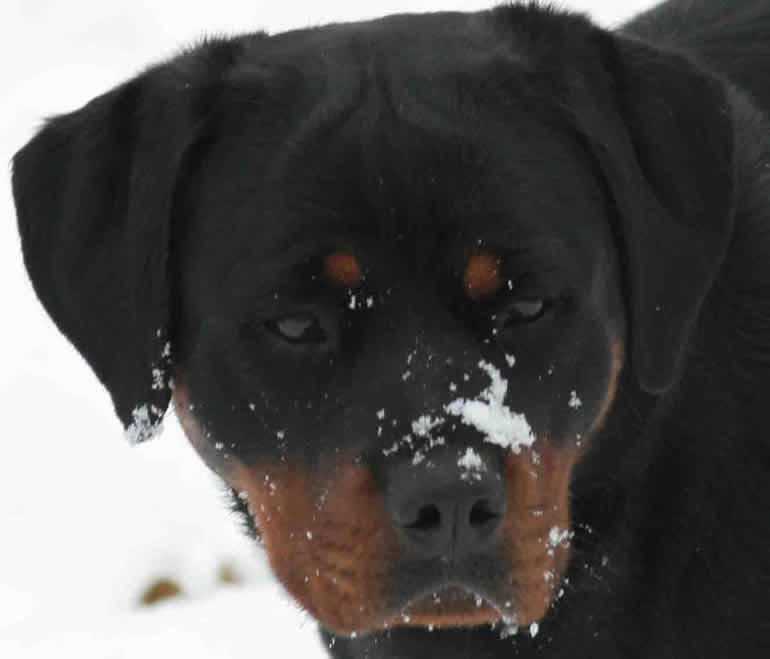 Ballardhaus Rottweilers Rottweiler Breeders Rottweiler Puppies