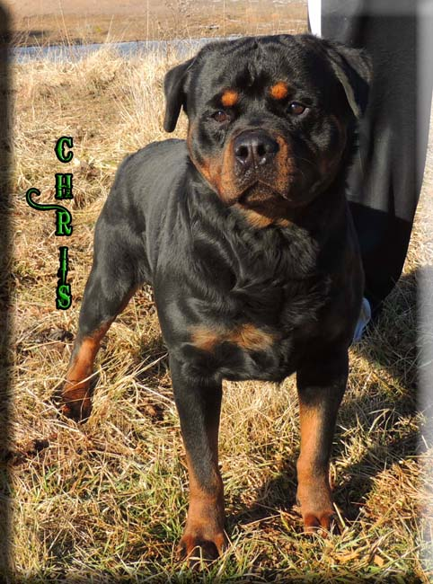 Chris Vom Wolf Stamm | Adult Rottweiler Male