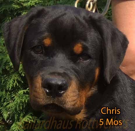 Rottweiler puppies 1 month for sale