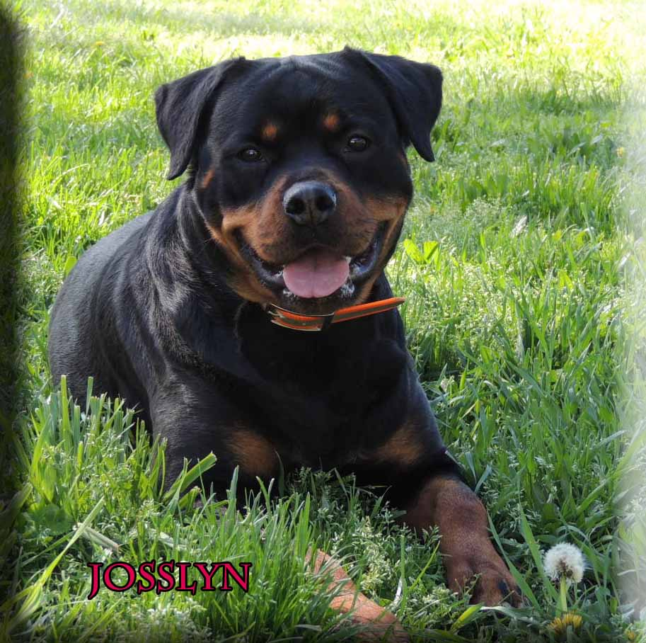 German rottweiler puppies for sale in nc