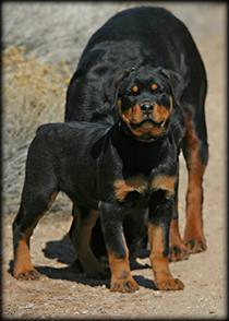 German rottweiler sale