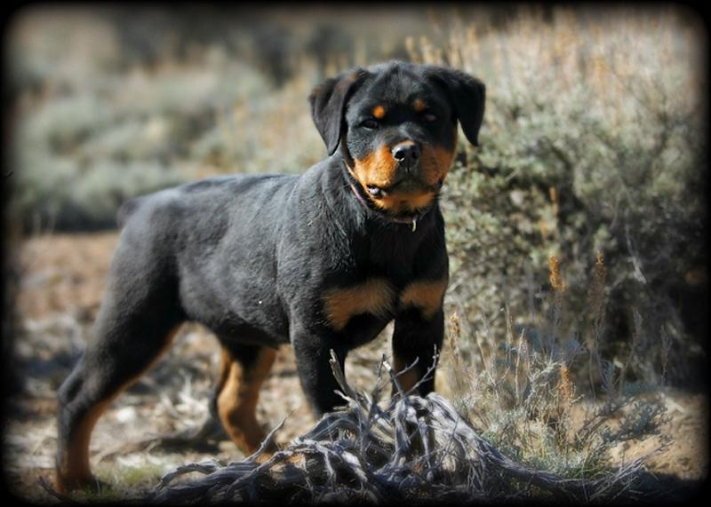 Purebred Rottweiler Puppy In Iowa