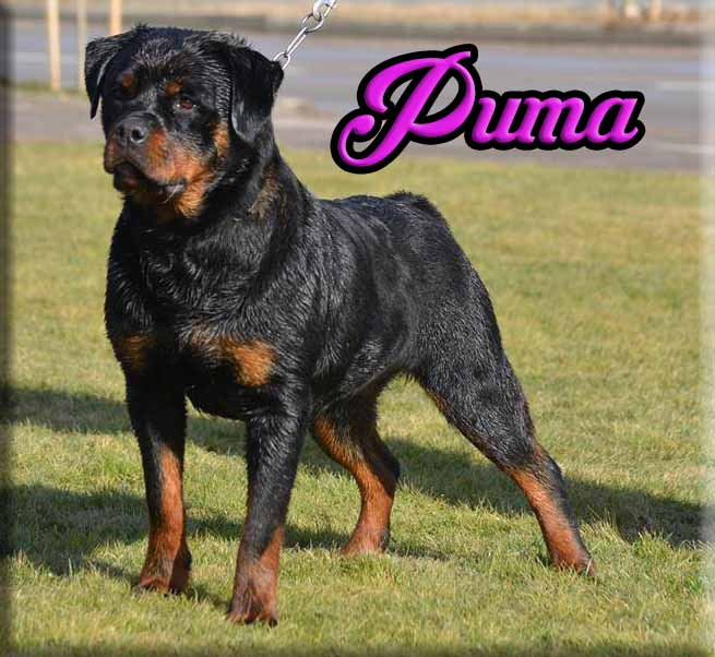 Rottweiler Breeders Rottweiler Puppies For Sale German
